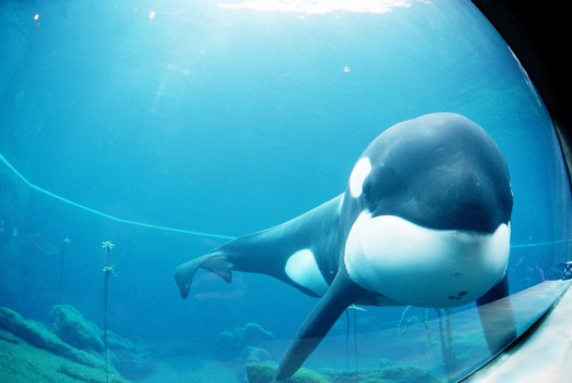 """Straight on medium shot of Keiko the killer whale and star of the film """"Free Willy"""" as he swims around in his tank prior to being moved from Newport, Oregon to Westman Islands, Iceland. (From Wikipedia)"""