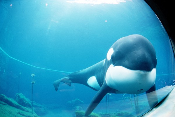 "Straight on medium shot of Keiko the killer whale and star of the film ""Free Willy"" as he swims around in his tank prior to being moved from Newport, Oregon to Westman Islands, Iceland. (From Wikipedia)"