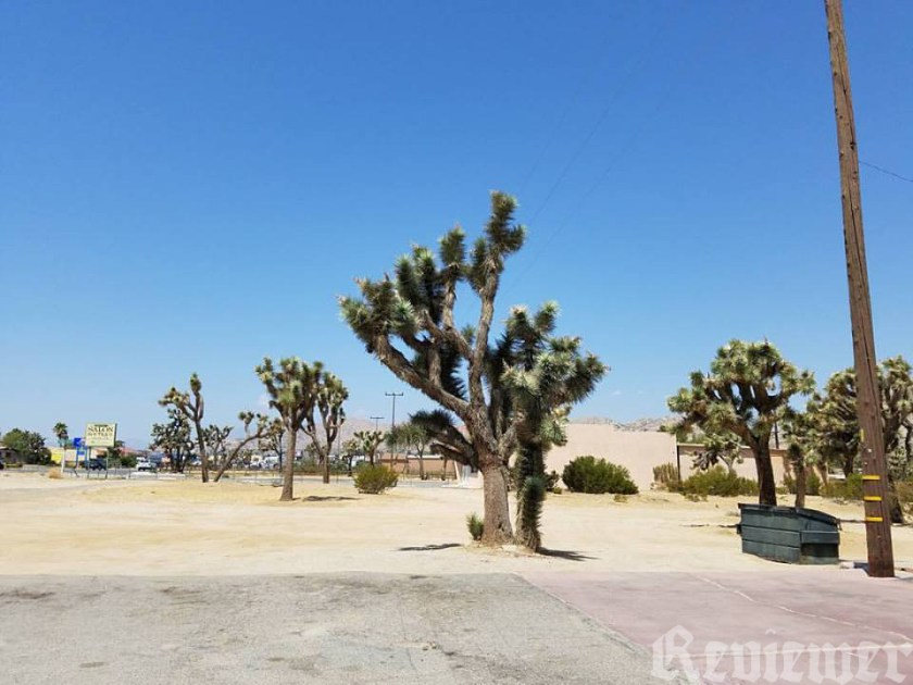 The Joshua Tree growing in its natural habitat, as a weed in a vacant lot or in a city easement .