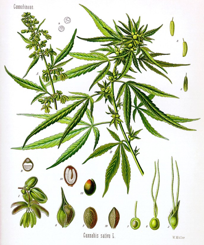 Cannabis sativa drawing by Koehler