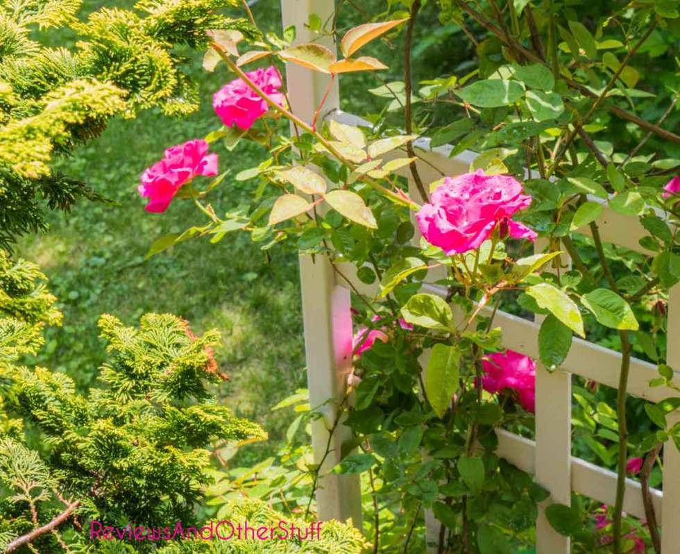 zephirine drouhin rose