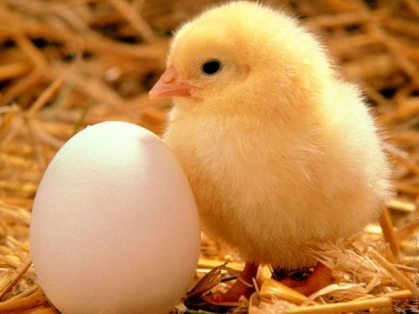 A day old chick. Image credit 21food.com