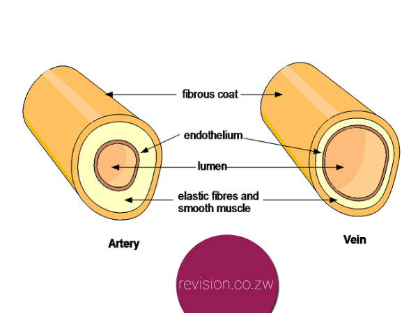 Differences between a vein and an artery.