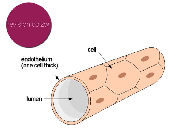 A capillary