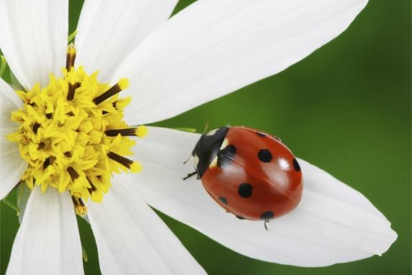 Lady bugs are an example of pollinators. Image credit earthrangers.com