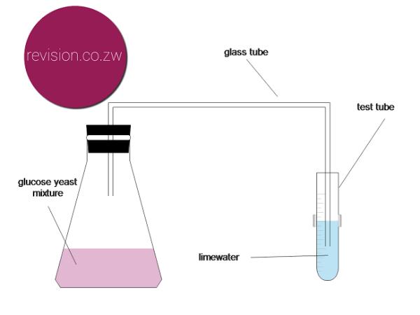 Fermentation of glucose