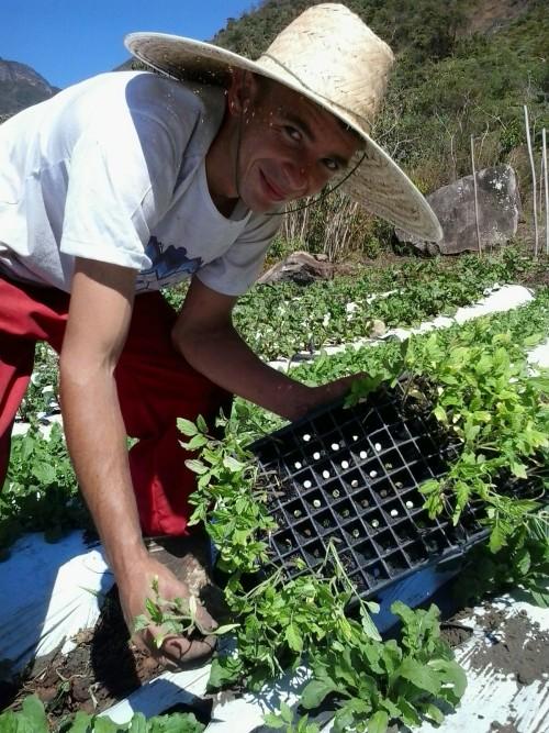 Plantio dos tomates do Manacá Orgânicos.