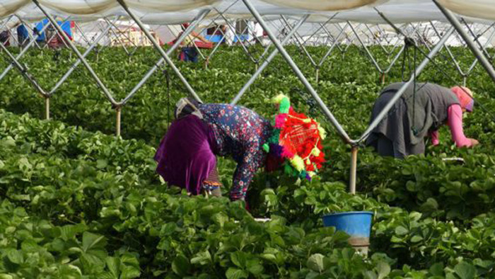 """CCOO Andalucía mueve ficha y reclama campos de fresas donde """"el favor sexual no sea moneda de cambio"""""""