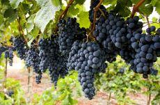 los vinos de saltillo, una sorpresa del estado de coahuila