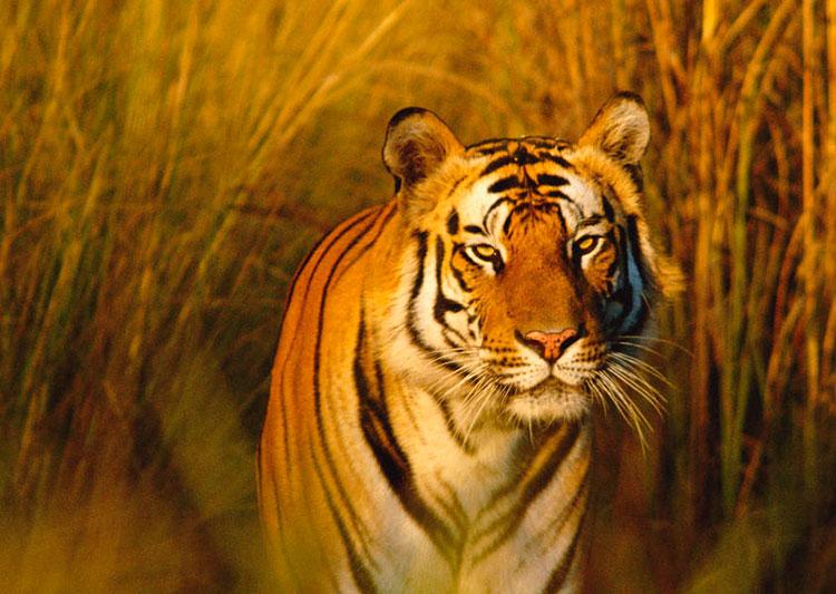 India: safaris fuera de áfrica | Tigre de Bengala