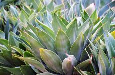 Los agaves mezcaleros de méxico