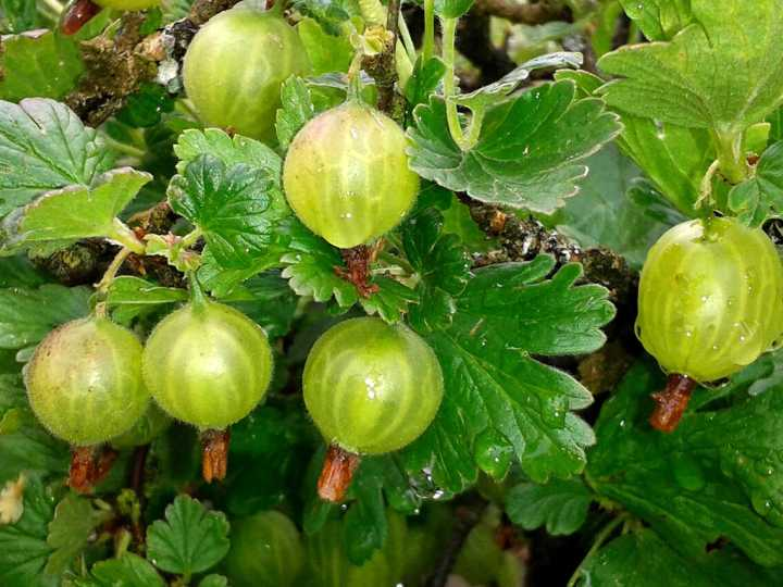 agrisele-fructele-vitalitatii