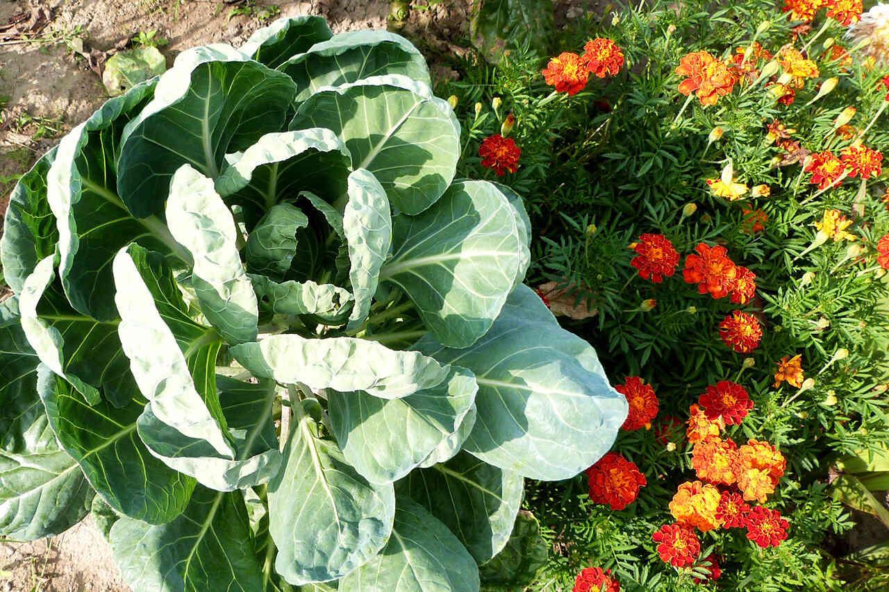 Leacuri din grădină: varza