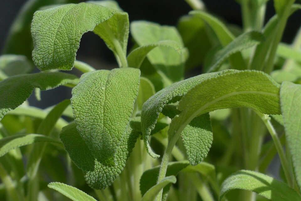 Salvia, proprietăţi şi contraindicaţii