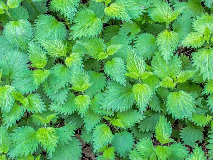 Urzica vie, planta care purifică organismul