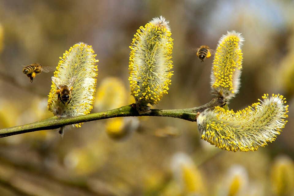 Covid-19: particulele de polen mijloc de transport al virusului