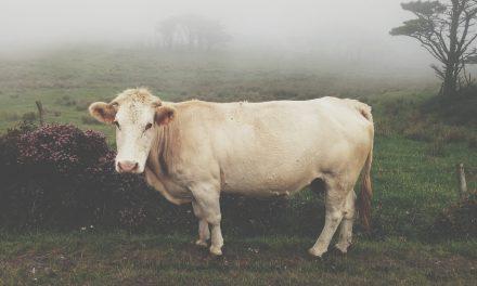 """Homo urbanus o """"El espíritu de las vacas"""", de Abel Neves"""