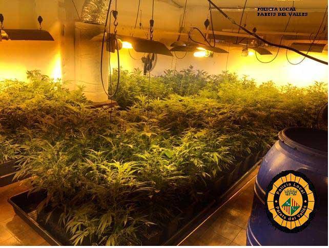 El agresor tenía una plantación de marihuana en casa