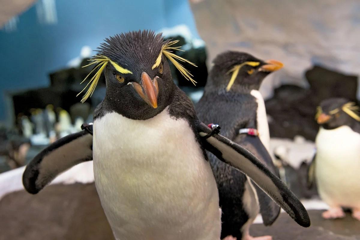 pinguino_