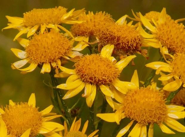 flor árnica