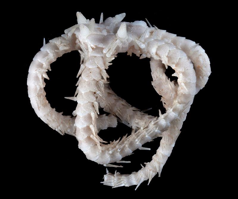Ofiura hace parte de la familia lejana de las estrellas de mar y habita a mil metros de profundidad. Esta nueva criatura recibió el nombre de Ophiohamus georgemartini en honor a Game of Thrones. Foto: Victoria Museums / CSIRO