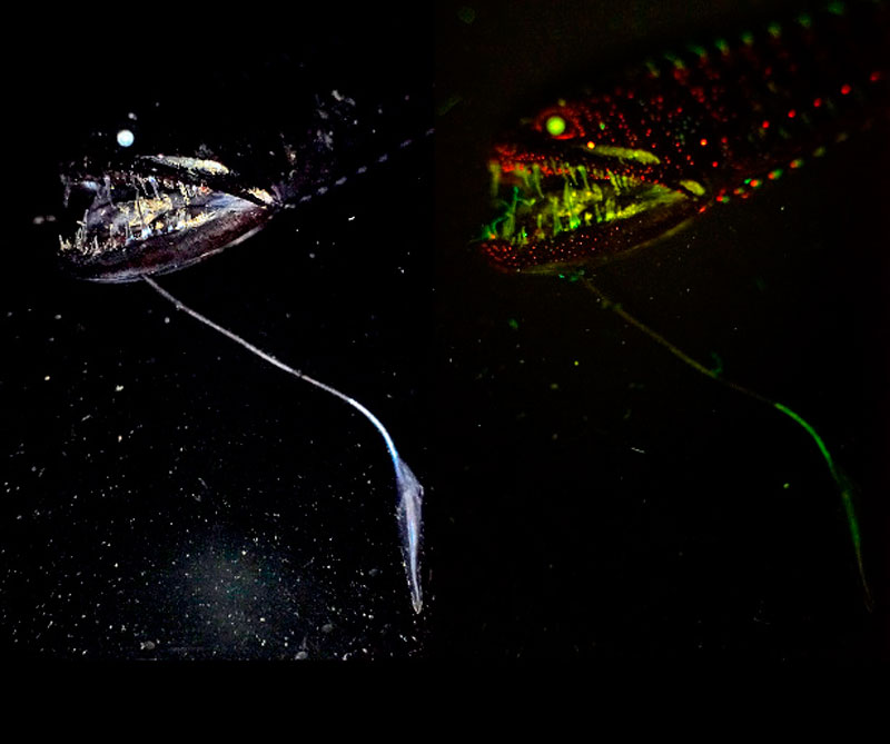 Pez alien, los científicos dicen que existen hasta 50 especies diferentes. Foto: Victoria Museums / CSIRO