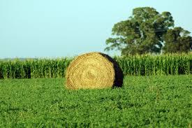 El boom de la alfalfa pampeana de exportación.