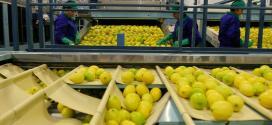 El limón sigue siendo la «joya» de la exportación de Tucumán.