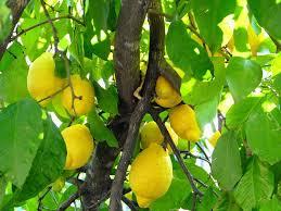 Comienza una auditoría de la Unión Europa para reabrir la exportación de limones y naranjas hacia ese mercado