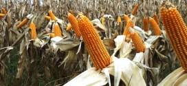 El maíz va por una nueva siembra récord