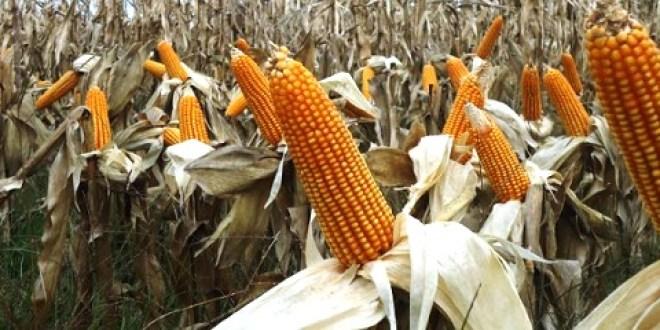 Por primera vez en 20 años, se registra más producción de maíz que de soja.