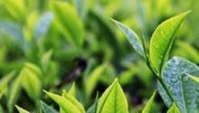 En 2019 la exportación de té verde argentino marcó un aumento destacado en relación al año pasado