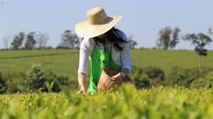 Crece la cooperativa yerbatera que exporta té a Estados Unidos.