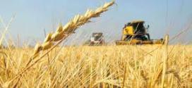 Productores de trigo no venden y se complica la oferta de harina.