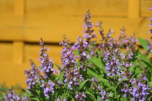 Salvia officinalis.