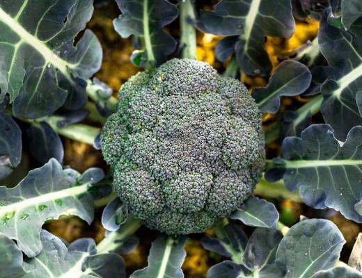 couve-brócolo