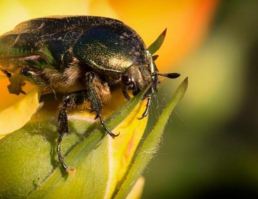 escaravelho da rosa