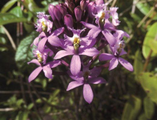 orquídea crucifixo