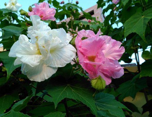 rosa-algodão