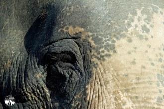 rana-sera-a-terceira-resgatada-do-santuario-de-elefantes-em-mt-02