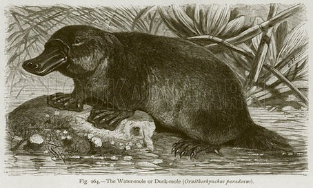 El poco agraciado ornitorrinco. Ilustración d The Natural History of Animals, de Carl Vogt y Friedrich Specht (Blackie, c 1880).