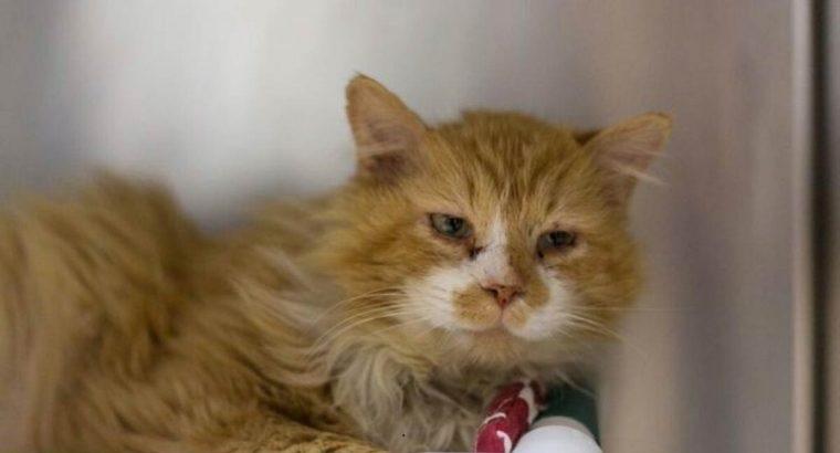 Gato percorre 20 km para voltar à família que o abandonou e é rejeitado novamente