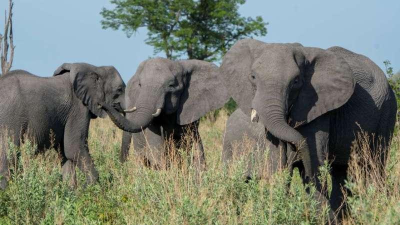 O que aconteceu com os elefantes mortos misteriosamente em Botsuana?