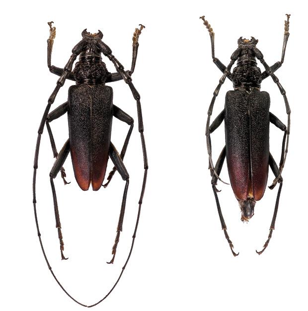 El gran capricornio (Cerambyx cerdo), también conocido como capricornio mayor y capricornio de las encinas es una especie de coleóptero crisomeloideo .