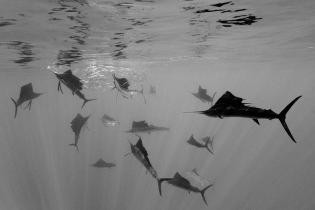 Reinhard Dirscherl (Alemania, W.P.F. 2011, 2º lugar, categoría: Naturaleza) / Banco de peces-espada en la península de Yucatán, México.