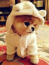 Boo, el perrito más guapo del Mundo