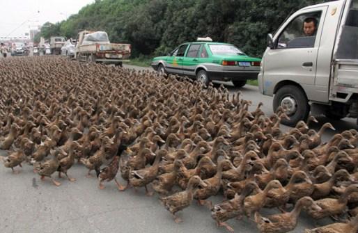 Fotos Increíbles en el Momento Justo - Miles de Patos en una carretera de China