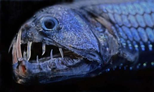 Viperfish.