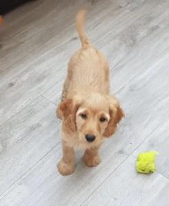 Suki the puppy