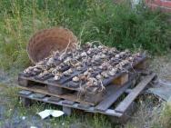 Drying Garlic Melide